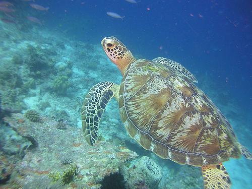 Img3_Green Turtle_Anders Wikström_Queensland