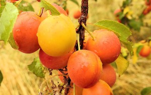 yellow-plums-1525413_960_720