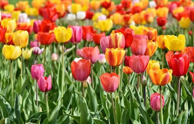 tulips-3359902_640-min
