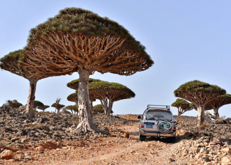 Socotra_Rod_Waddington