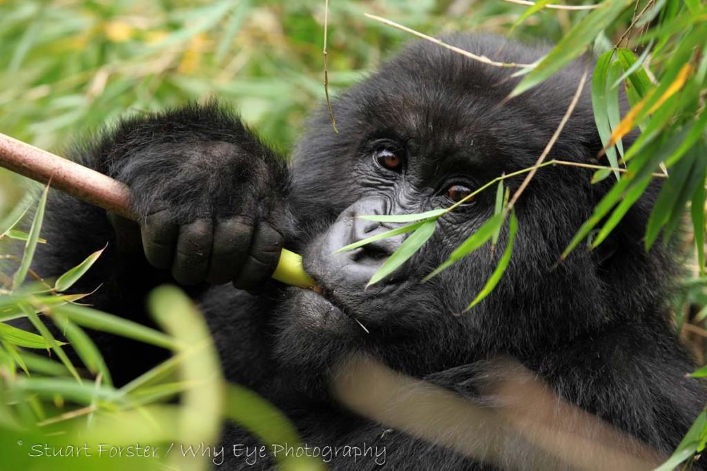 SF_Rwanda_Gorilla_030